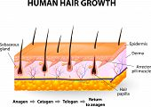 Постер, плакат: Human hair growth