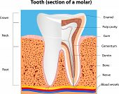 foto of molar  - Tooth anatomy - JPG