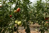 Organic tomato plant and fruit