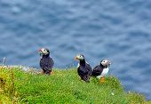 image of faroe islands  - puffin with sweetbreads in its beak - JPG