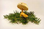 mushrooms and yew