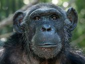 picture of chimp  - Portrait of a female Chimpanzee with a green background - JPG