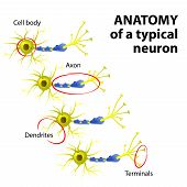 image of nerve cell  - Anatomy of a typical multipolar neuron - JPG