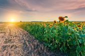 image of sunflower  - Majestic view of sunflower field glowing by sunlight - JPG