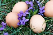 pic of viola  - Eggs on ground with viola flower around - JPG