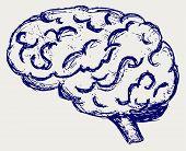 pic of cerebrum  - Human brain - JPG