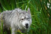 image of wolf-dog  - Very good dog a cross between a husky and wolf - JPG