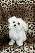 picture of maltese  - A cute little twelve week old Maltese puppy with focus on his face plenty of space for text - JPG