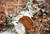 stock photo of fungus  - Wood fungus on fallen birch trunk - JPG