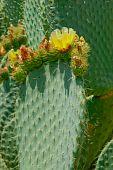 Fleshy Prickly Cactus Leaf Close-up.