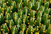 Cactuses Are In Flowers. Background Composition.