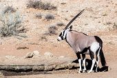 image of antelope horn  - Gemsbok Oryx gazelladominant Gemsbok antelope in the park Kgalagadi South Africa - JPG