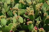 A Lot Of Cactus Leaves With Flowers.