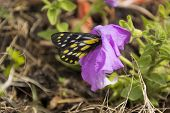 pic of petunia  - A Caper White Butterfly Feeding on a Petunia - JPG