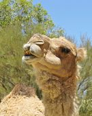 picture of dromedaries  - A portrait of a Arabian camel or Dromedary with a facial expression in Australia - JPG