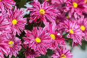 image of chrysanthemum  - Chrysanthemum flower in the garden - JPG