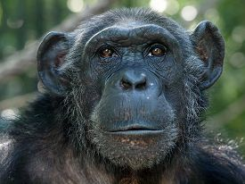 stock photo of chimp  - Portrait of a female Chimpanzee with a green background - JPG