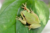 stock photo of googly-eyes  - Green frog with bulging eyes golden on a leaf - JPG