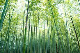 stock photo of bamboo  - bamboo forest with young green bamboos - JPG
