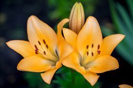 image of asiatic lily  - two yellow day-lily blossoms - hemerocallis close up view ** Note: Shallow depth of field - JPG