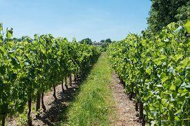 stock photo of bordeaux  - Vineyard in France for Bordeaux - JPG
