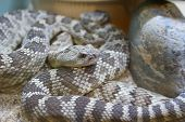 image of western diamondback rattlesnake  - The rattlesnake is common to the desert southwest regions - JPG