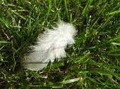 image of kinda  - this is a feather that looks like its trapped by the grass and shows two different kinda of nature combined - JPG