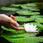 Woman's Hand Touching A Waterlily In A Pond