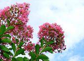 Crape Myrtle In Full Bloom
