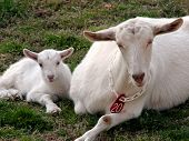 pic of saanen  - Young mother goat and baby white Saanen goat lying in the grass shoulder to shoulder - JPG