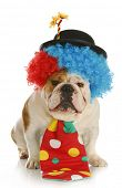clown - english bulldog wearing clown costume on white background