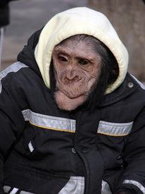 foto of tarzan  - chimpanzee looking upward pets cheetah humor zoo - JPG