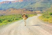 Ostrich On Karoo National Park Dirt Road. Beaufort West In South Africa. Mountain Background And Gra poster