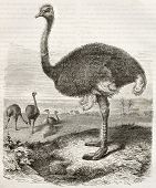Ostrich old illustration (Struthio camelus). Created by Beckmann, published on Merveilles de la Nature, Bailliere et fils, Paris, ca. 1878