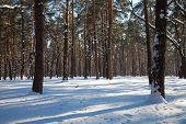 Horizontal View Of Winter Sparse Forest With Tree Shadows And Sunrays Being Reflected On Snow Surfac poster