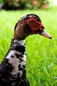Cabeça e pescoço de ganso curioso no perfil