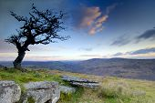 Dartmoor Hawthorn At Sunrise