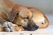 Dog Sick, Sleep Dog Relax Alone, Brown Dog Is Sleeping, Brown Dog Is Sleep Sick poster