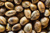 Many Cannabis Seeds. Macro Detail Of Marijuana Seed. Organic Hemp Seed. Close Up. Hemp Seeds Backgro poster