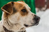 A Head Of A Big Beautiful Pooch Brown-white Dog With Brown Eyes In A Brown Leather Collar Is Guardin poster