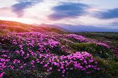 Magic pink rhododendron flowers on summer mountain. Dramatic sky and colorful sunset. Chornohora rid poster