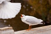 Chirping black-headed gull