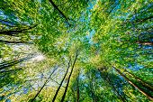 Spring Summer Sun Shining Through Canopy Of Tall Trees. Sunlight In Deciduous Forest, Summer Nature. poster