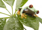 stock photo of red eye tree frog  - Red eyed tree frog - JPG
