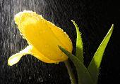 Tulip in the rain