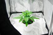 Close Up. Marijuana In Grow Box  Tent . Growing Marijuana At Home Indoor. Vegetation Of Cannabis Gro poster