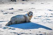 Atlantic Grey Seal Pup On Sandy Beach/atlantic Grey Seal Pup/atlantic Grey Seal Pup (halichoerus Gry poster