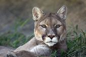 picture of cougar  - A close up shot of a mountain lion  - JPG