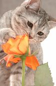 Sight Of A Grey Cat And Orange Rose