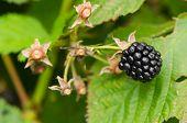Macro Of Blackberry Healthy Ecologic Dewberry